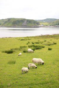 Schafe auf Kerrera