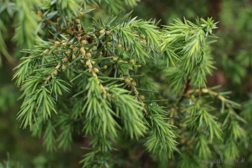 Der Wacholder, auch Todesbaum genannt.