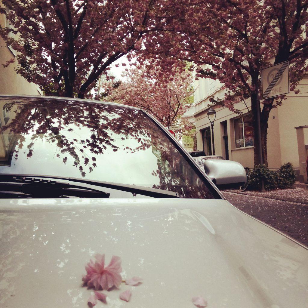 Kirschblütenreigen in Bonn